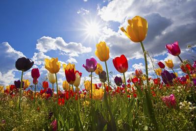 Tulip Fields, Wooden Shoe Tulip Farm, Woodburn Oregon, United States Fotografická reprodukce