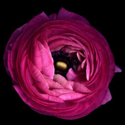 Pink Ranunculus Photographic Print by Magda Indigo