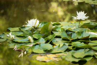 Lotus Pond II Photographic Print by Erin Berzel