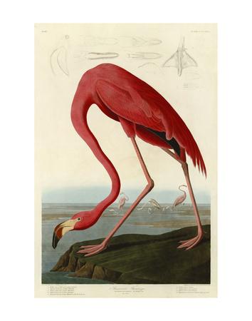 American Flamingo Prints by John James Audubon