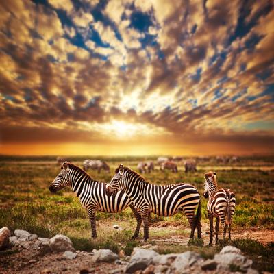 Zebras Herd on Savanna at Sunset, Africa. Safari in Serengeti, Tanzania Photographic Print by PHOTOCREO Michal Bednarek