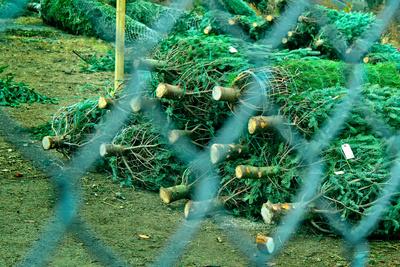 Christmas Trees Through Fence Photo