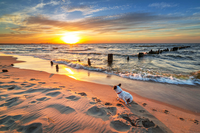 French Bulldog on the Beach at Sunset beach summer scenes photo poster by Patryk Kosmider