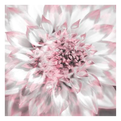 Dahlia Pinks 4 Posters by Suzanne Foschino