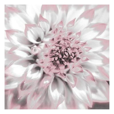 Dahlia Pinks 2 Posters by Suzanne Foschino