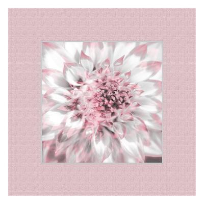 Dahlia Pinks 6 Poster by Suzanne Foschino