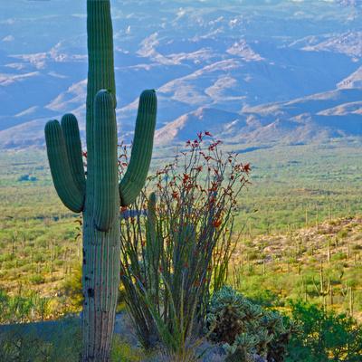 Saguaro Cactus in Saguaro National Park, Arizona,USA Photographic Print by Anna Miller