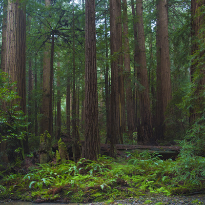Old Growth Coast Redwood, Muir Woods National Monument, San Francisco Bay Area Photographic Print by Anna Miller