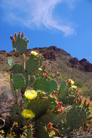Blooming Cactus in Arizona Desert Mountains Photographic Print by Anna Miller