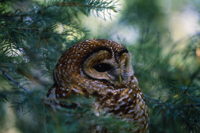 Spotted Owl Photographic Print