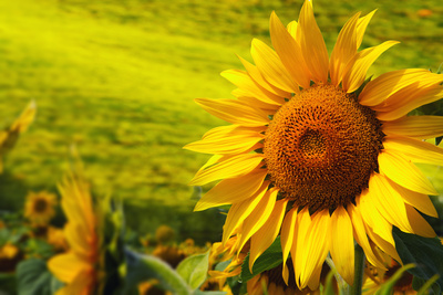 Tuscany Sunflowers Photographic Print by  ZoomTeam
