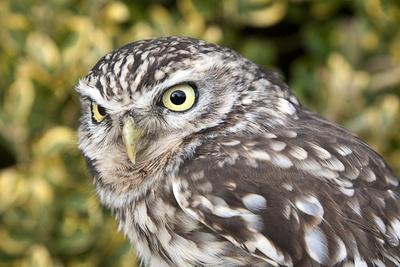 Little Owl (Athene Noctua) Photographic Print by Roel Meijer