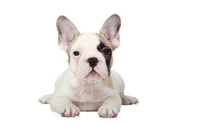 Fawn Pied French Bulldog Puppy Photographic Print by  mlorenzphotography
