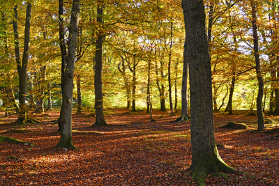 Interior of Autumn Woodland, Scotland UK Photographic Print by Kathy Collins