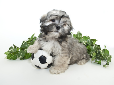 Scoccer Puppy Photographic Print by  StockImage