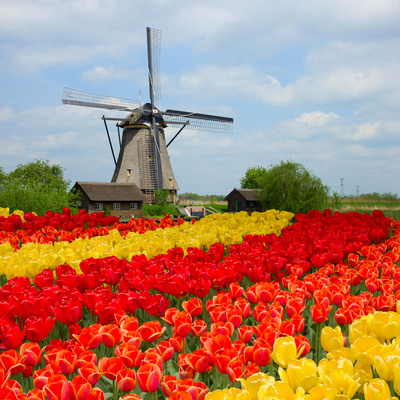 Dutch Windmill over Tulips Field Photographic Print by  neirfy