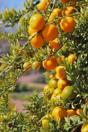 Orange on Tree Photographic Print by Karol Franks