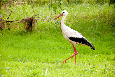 Stork in the Forest Photographic Print by  Ka2shka