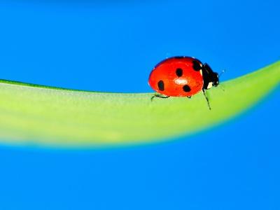 Ladybird on Daffodil Leaf Photographic Print by Pallab Seth