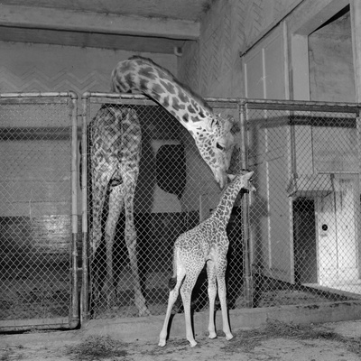 Calf Giraffe Photographic Print by Three Lions