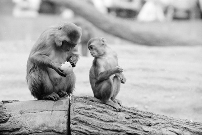Eating Monkey Photographic Print by Three Lions