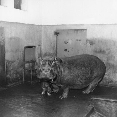 Baby Hippo Photographic Print by  Evans