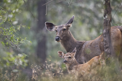 Sambar Deer, Female with Young. Photographic Print by Richard Packwood