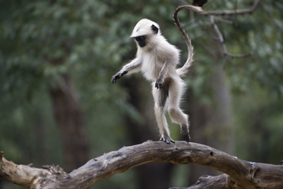 Common Langur, Young One Playing. Photographic Print by Richard Packwood