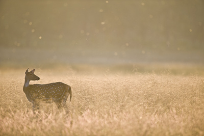 Chital (Axis or Spotted Deer) Photographic Print by Richard Packwood