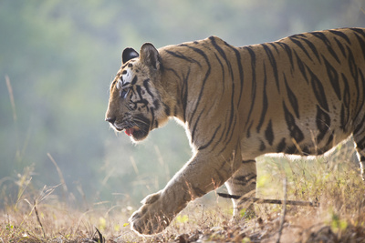 Bengal Tiger. Photographic Print by Richard Packwood
