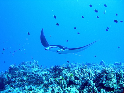 Manta Ray Photographic Print by Dr Peter M Forster