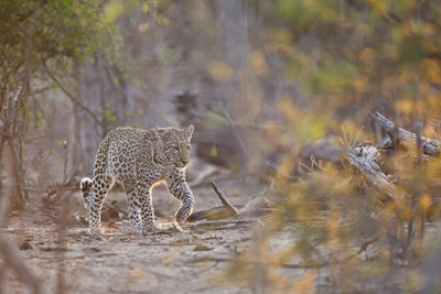 Leopard Walking in Early Morning Light Photographic Print by Richard Packwood