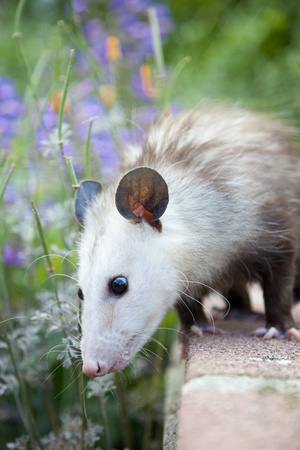 Pet Possum Photographic Print by Grove Pashley