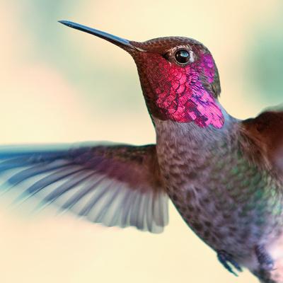 Anna's Hummingbird Fotografisk tryk af by Ed Sweeney