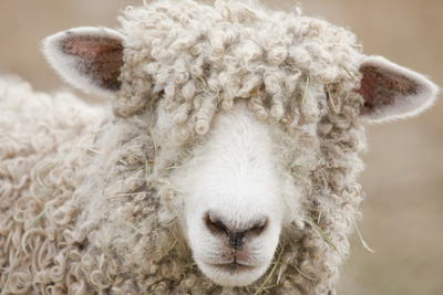 Canada, British Columbia, Fort Steele, Close-Up of a Sheep Fotografisk tryk af Don Paulson Photography