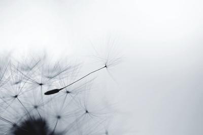 Dandelion Seed Photographic Print by Elena Kalistratova