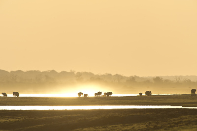 African Elephants at Sunset Photographic Print by Richard Packwood