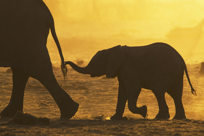 African Elephant (Loxodonta Africana) Calf Holding Mother's Tail, Khaudom Game Reserve, Namibia Photographic Print by Richard Packwood