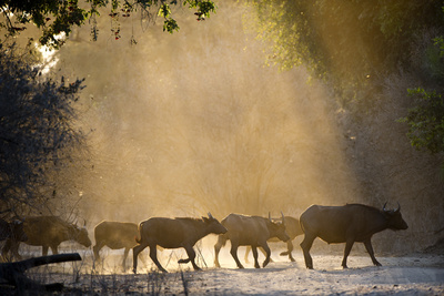 African (Or Cape) Buffalo Crossing Track Photographic Print by Richard Packwood