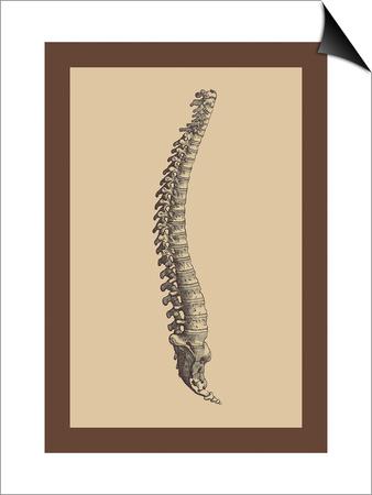 Backbone Posters by Andreas Vesalius!
