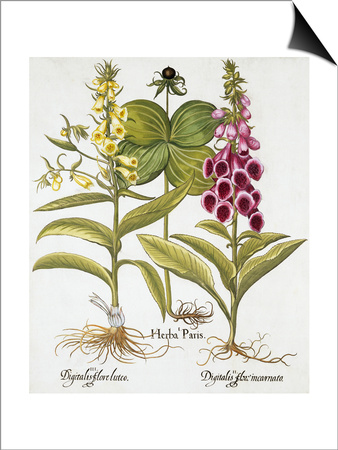 Herb Paris, Common Foxglove and Large Yellow Foxglove Prints by Basilius Besler