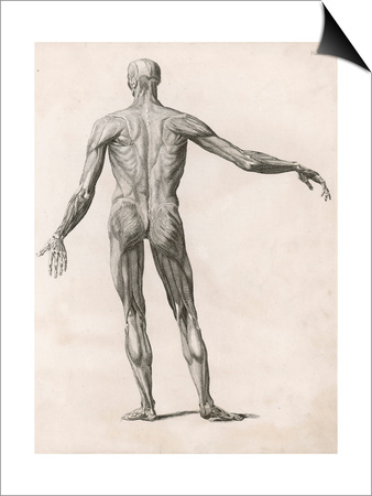 View of the Muscles in the Human Body Posters