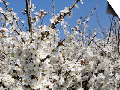 Blackthorn (Prunus Spinosa) in Full Flower, Cornwall, England, United Kingdom, Europe Art by Nick Upton