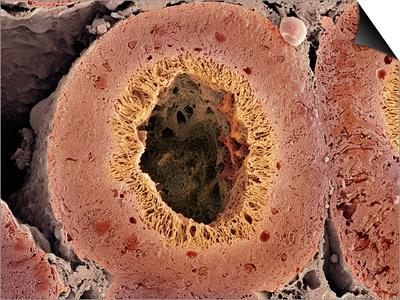 Kidney Tubule, SEM Poster by Thomas Deerinck