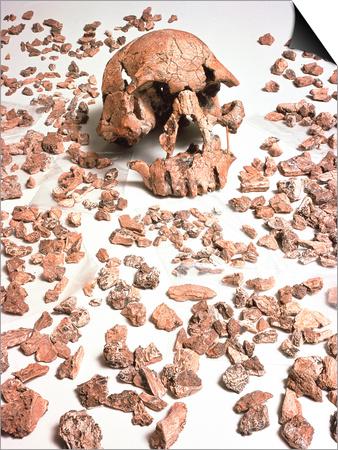 Hominid Fossil Skull 1470 Posters by John Reader