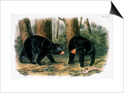 American Black Bear, 1844 Print by John James Audubon
