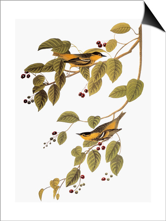 Audubon: Warbler Posters by John James Audubon