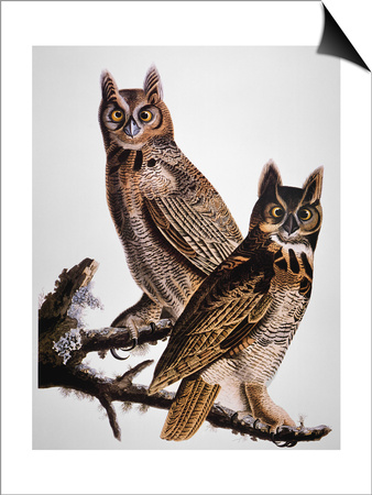 Audubon: Owl Prints by John James Audubon!