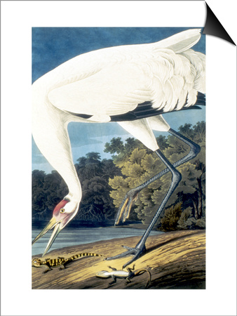 Whooping Crane, Posters by John James Audubon