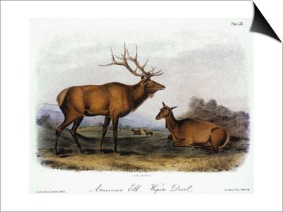 American Elk, 1846 Posters by John James Audubon
